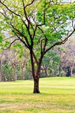 在绿色草坪种植的一棵唯一树 免版税库存照片