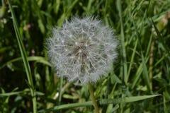 在绿色草甸中间的白色蒲公英 免版税库存照片