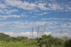 在绿色草甸和蓝天的龙舌兰 免版税库存图片