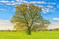 在绿色草甸的一棵大椴树在晴朗的明亮的夏日 免版税库存照片