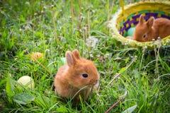 在绿色草甸的两个兔宝宝用五颜六色的复活节彩蛋 免版税库存图片