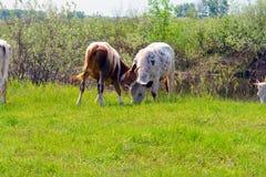 在绿色草甸的两头母牛 免版税图库摄影