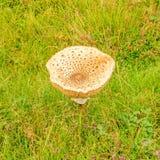 在绿色草甸的唯一蘑菇 免版税图库摄影