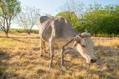 在黄色草甸的母牛 库存照片