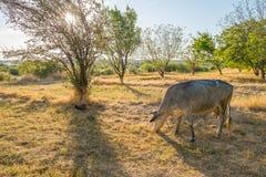 在黄色草甸的母牛 免版税库存图片