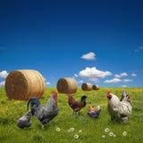 在绿色草甸的自由放养的鸡 免版税库存照片