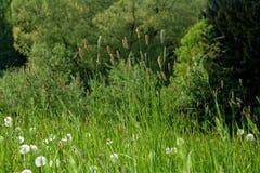在绿色草甸的蒲公英 库存照片