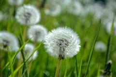 在绿色草甸的蒲公英 免版税库存照片