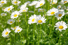 在绿色草甸的雏菊花 免版税库存图片