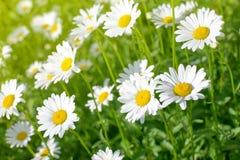在绿色草甸的雏菊花 免版税图库摄影
