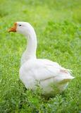 在绿色草甸的鹅 库存图片