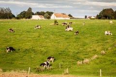 在绿色草甸的黑白母牛 库存图片