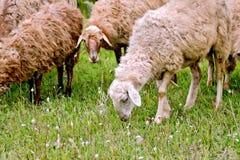 在绿色草甸的绵羊牧群 免版税库存图片