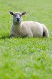 在绿色草甸的绵羊 库存图片