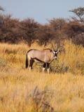 在黄色草的大羚羊羚羊 库存图片