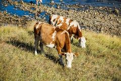 在黄色草的母牛在河支持 图库摄影
