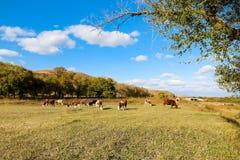 在黄色草的母牛在蓝天下 免版税库存图片