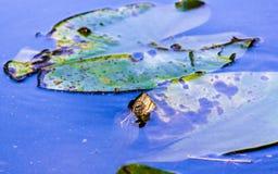 在绿色莲花叶子的一个青蛙` s头在自然水中 图库摄影