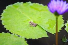 在绿色莲花叶子的一只小的青蛙 免版税库存照片
