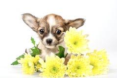 在黄色菊花花的滑稽的奇瓦瓦狗小狗 免版税库存照片