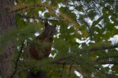 在绿色落叶松属的灰鼠皮 免版税图库摄影