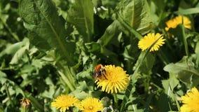 在黄色蒲公英的土蜂在夏天阳光特写镜头视图下的一个绿色草甸 影视素材