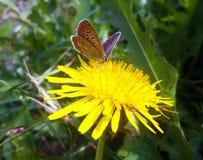 在黄色蒲公英的小蝴蝶 免版税图库摄影
