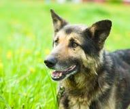 在黄色蒲公英的花田的混杂的品种狗 库存照片