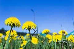 在黄色蒲公英花的晴朗的蓝天 免版税库存图片