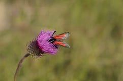 在紫色蓟花的蝴蝶 免版税库存图片