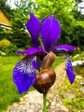 在紫色虹膜的蜗牛 库存图片