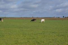 在绿色补丁Normandie法国的母牛 库存图片