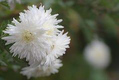 在绿色被弄脏的背景的白色菊花 库存图片