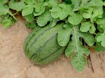 在绿色西瓜种植园的西瓜 免版税库存图片
