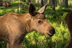 在绿色越桔灌木的欧洲麋驼鹿属驼鹿属小牛 库存图片