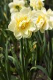 黄水仙在黄色软的树荫下  免版税库存照片