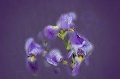 在紫色软的背景的紫色虹膜 免版税图库摄影
