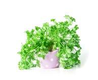 在紫色逗人喜爱的罐的新鲜的绿色荷兰芹在白色背景 免版税库存照片