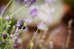 在紫色野花的蜂 免版税图库摄影