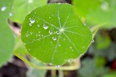 在绿色金莲花叶子的雨下落 免版税图库摄影