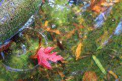 在绿色镇定的水的红槭叶子 库存照片