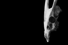 在黑色隔绝的一个有角的动物的头骨 免版税库存图片