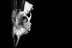 在黑色隔绝的一个有角的动物的头骨 库存图片
