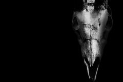 在黑色隔绝的一个有角的动物的头骨 库存照片