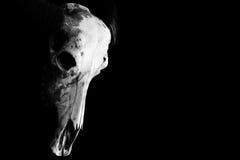 在黑色隔绝的一个有角的动物的头骨 免版税库存照片