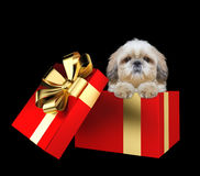 在黑色隔绝的一个红色当前箱子的逗人喜爱的shitzu小狗 图库摄影