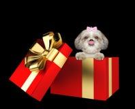 在黑色隔绝的一个红色当前箱子的逗人喜爱的shitzu狗 免版税库存图片