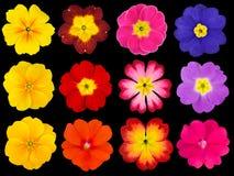 在黑色隔绝的五颜六色的报春花的汇集 免版税图库摄影