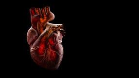 在黑色隔绝的人的心脏解剖学 库存照片