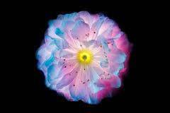 在黑色隔绝的佐仓宏指令超现实的桃红色和蓝色花 免版税库存照片